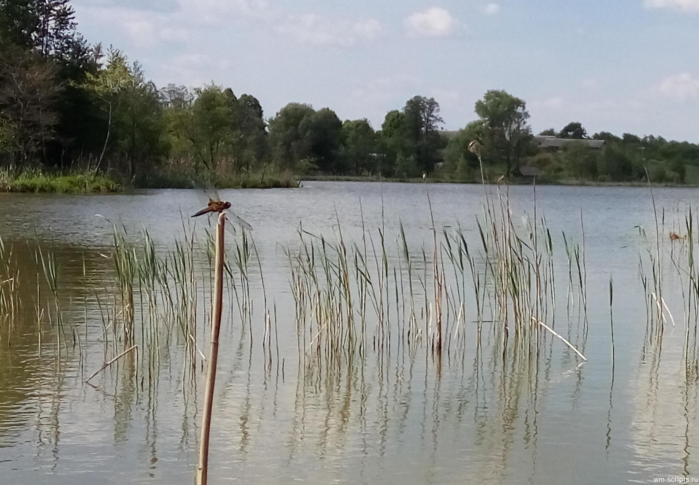 Стрекоза. Озеро Забельское.