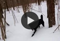 Пёс <<Рой>> гуляет в заснеженном лесу.