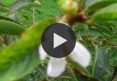 Цветение вишни в сентябре. г. Глубокое.